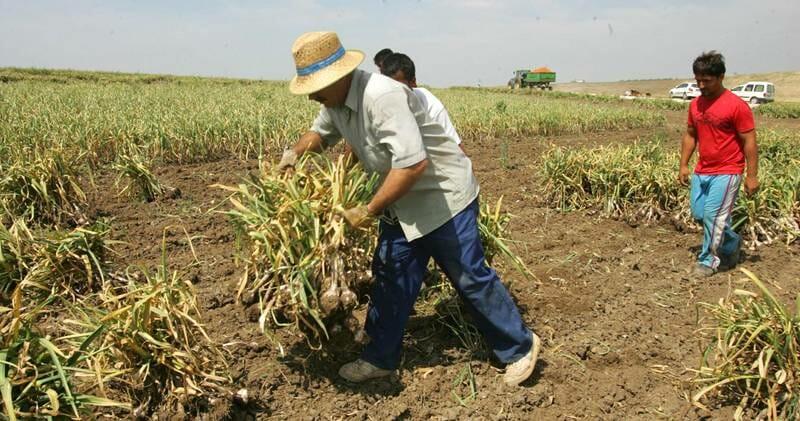 إقليم اكستريماذورا بحاجة إلى 2500 عامل لجني الثوم