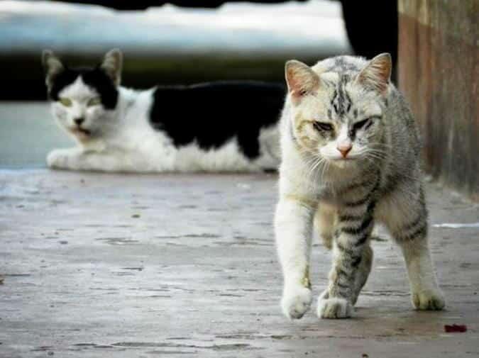 اصابة قطة فيروس كورونا اسبانيا